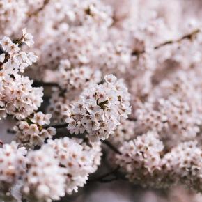 Virtual Cherry Blossom Tree Walk – Haiku Walk from Historic Joy Kogawa House, onNOW